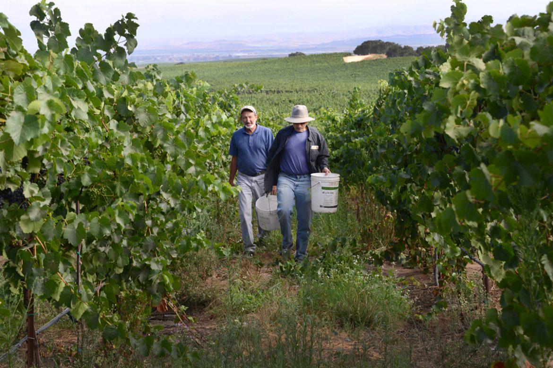 Biochar in vineyard