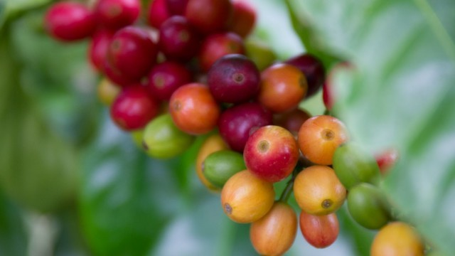 coffee cherry, biochar fertilizer, Fish Char 7-5-5 has been growing in popularity with Big Island coffee growers