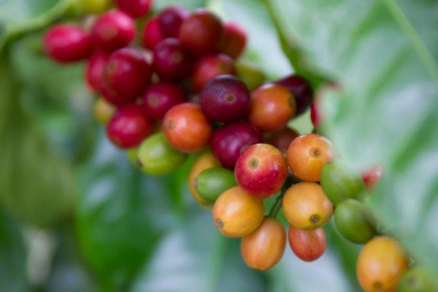 coffee cherry, biochar fertilizer, Fish Char 7-5-5 has been growing in popularity with Big Island coffee growers